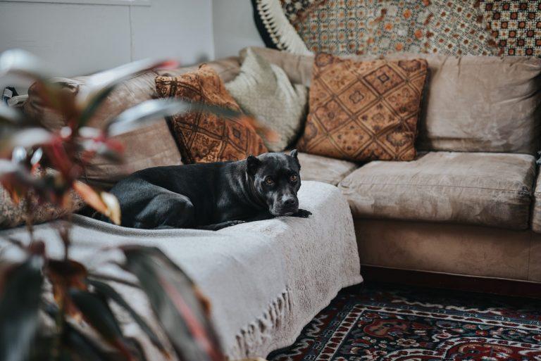 Na foto um cachorro deitado em cima de uma manta em um sofá.