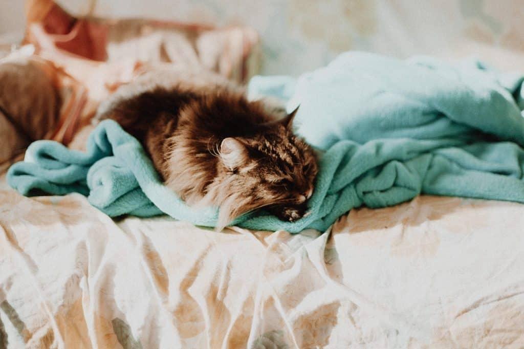 Imagem de gato deitado por cima de um cobertor de microfibra verde